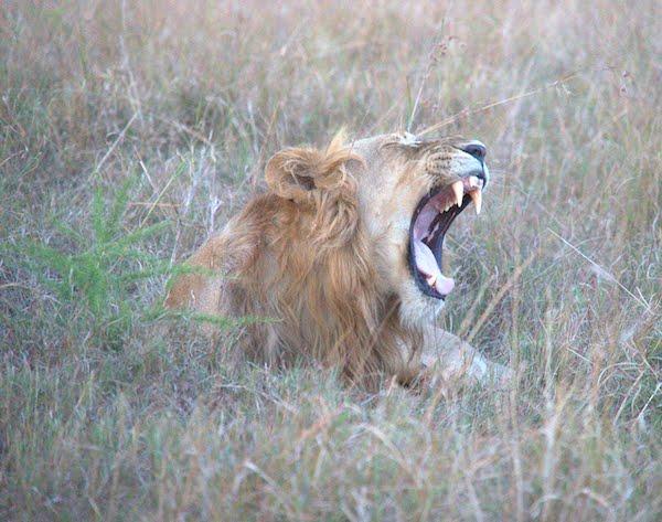 Lion in national park in Uganda